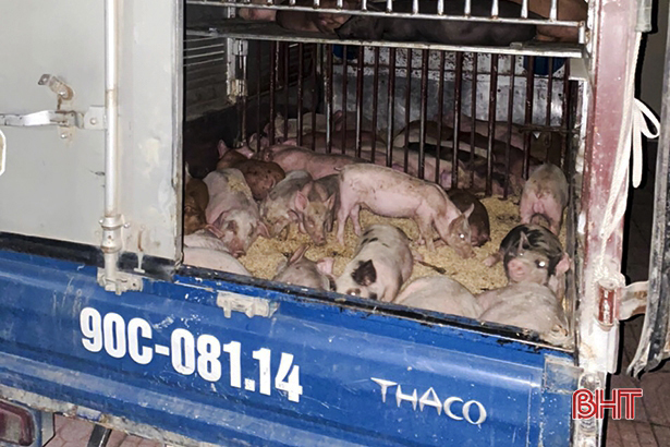 Hà Tĩnh: Phát hiện xe ô tô vận chuyển 50 con giống nhiễm dịch tả lợn châu Phi